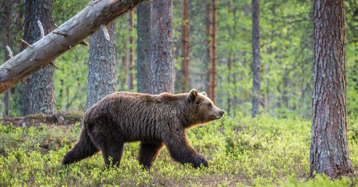 Medvét láttak Egernél