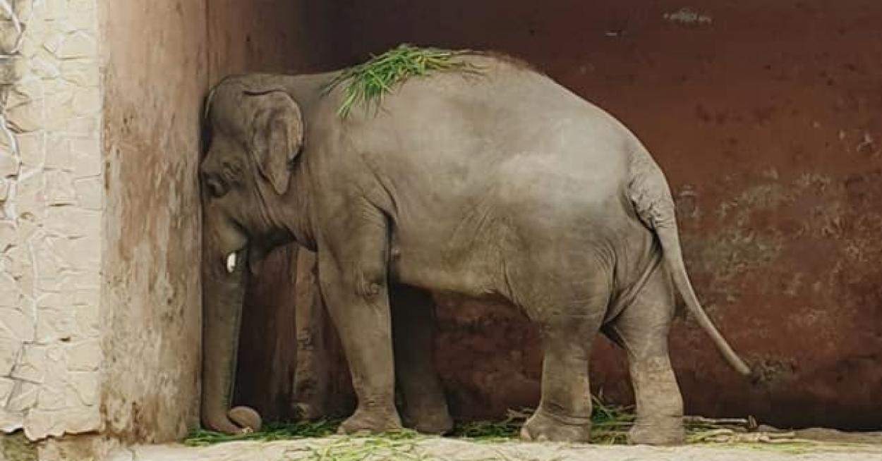 hogyan lehet karcsúsítani az elefánt lábát)