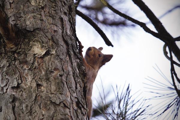vörös mókus paraziták