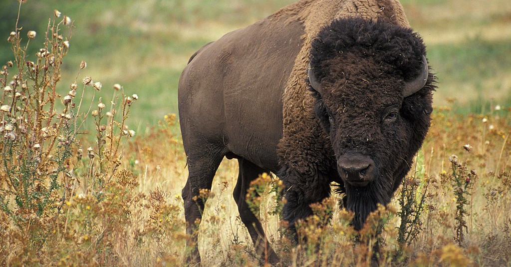 Jó hír: újra élnek és szaporodnak bölények a Kárpátokban